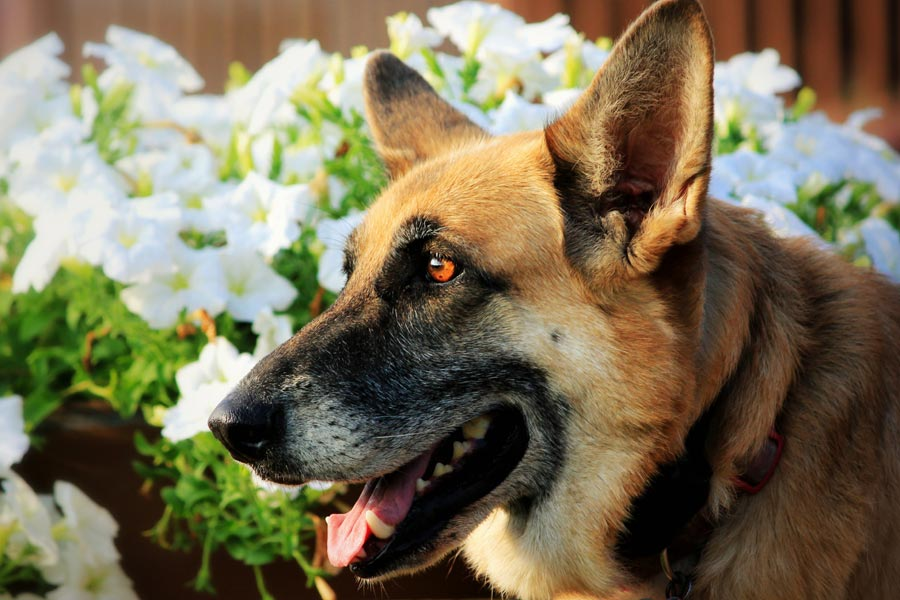 German Shepherd next to flower bed