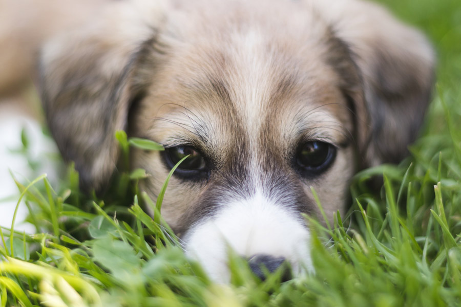 grey and white puppy in grass