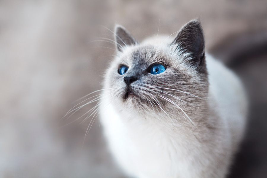 white and grey cat, how to train a cat