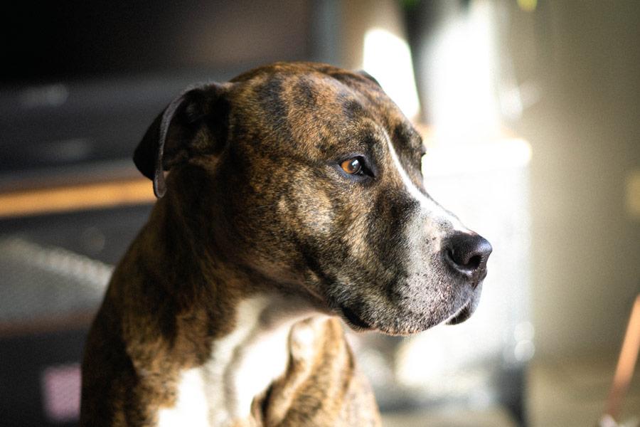 older dog looking sad, pet health, canine coronavirus