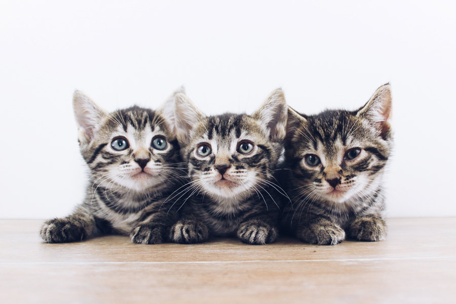 three grey and white kittens