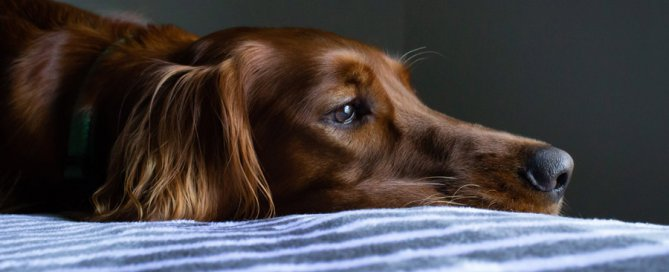 brown dog lying down looking sad