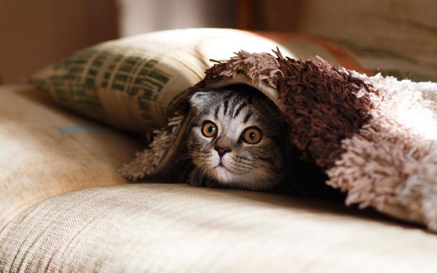 cat lying under blanket
