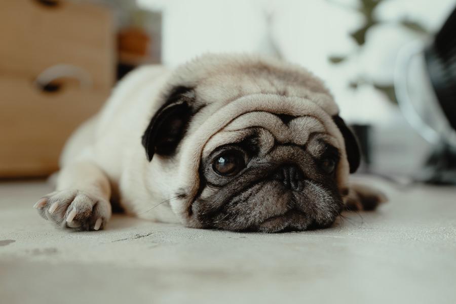 pug lying on floor
