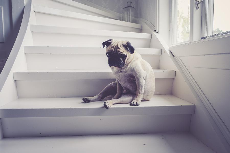 pug looking sad