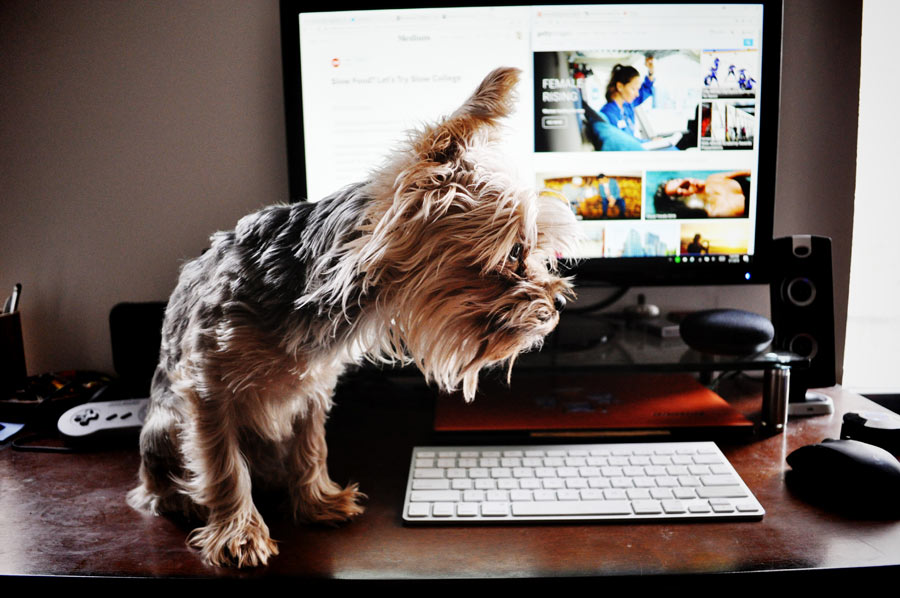 Yorkshire terrier sitting next to a computer