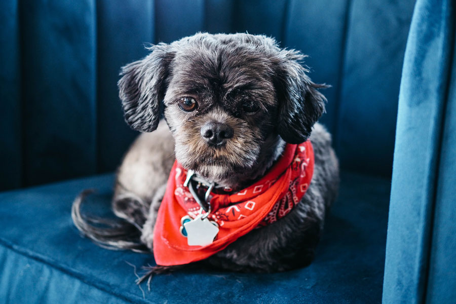 shih tzu wearing red bandana and ID tag