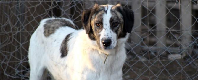 large dog in caged enclosure, pet adoption, animal rescue
