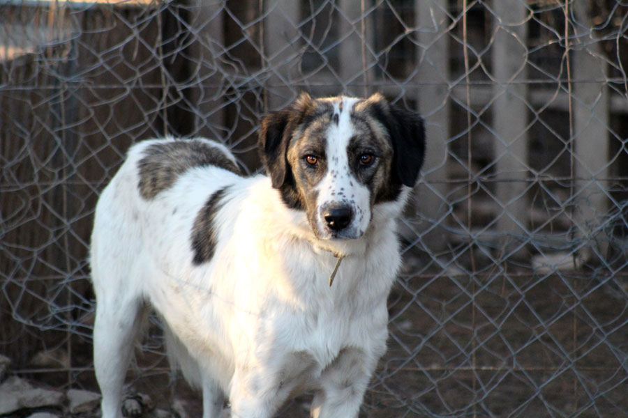 large dog in caged enclosure, pet adoption, animal rescue