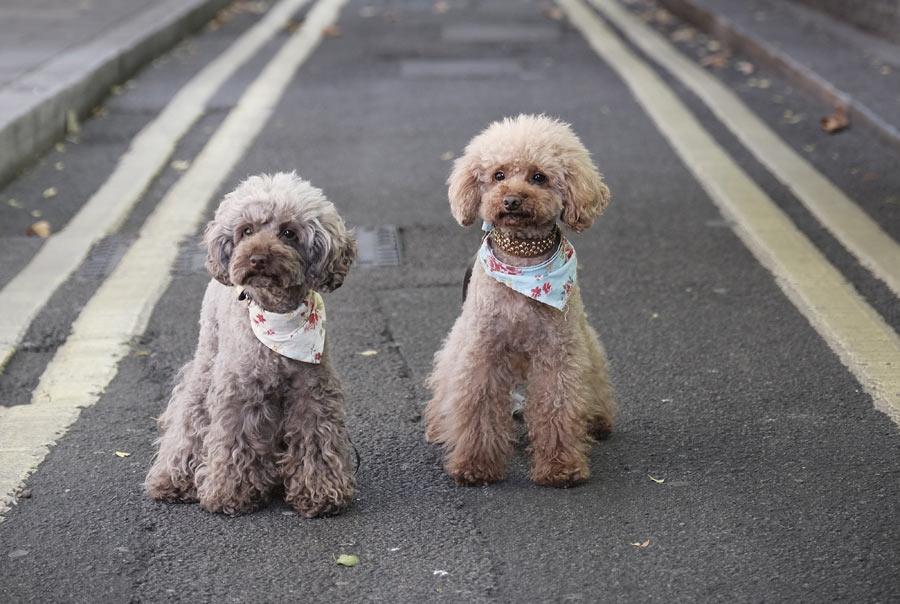 two grey poodles, pet cloning