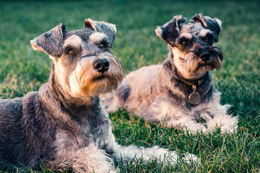 two similar schnauzer dogs, pet cloning
