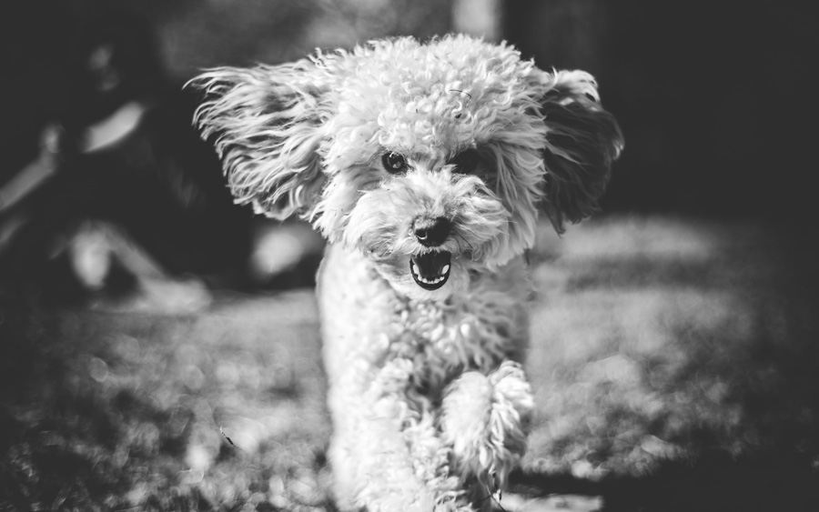 small white dog photographed in black and white
