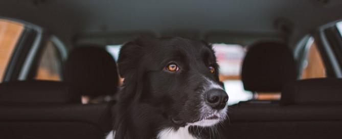 black dog in back of car, pet travel