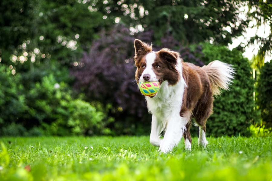 brown and white dog with ball, outdoors