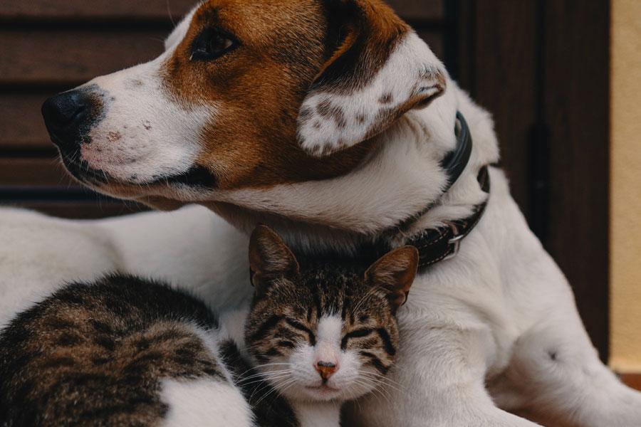 cat snuggled into dog