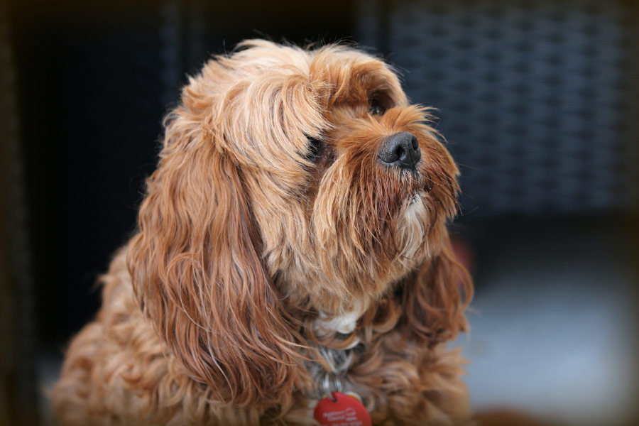 cavoodle, National Mutt Day