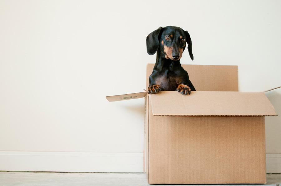 Dachshund in cardboard box