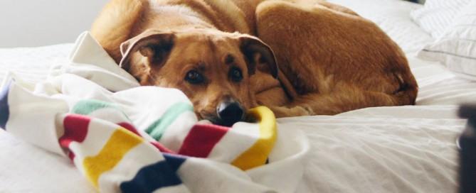 dog lying on bed, dog health problems