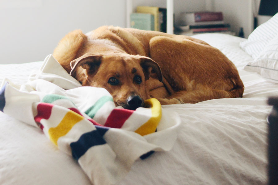 dog lying on bed, dog health problems