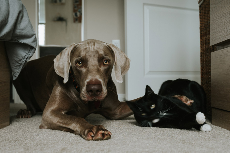 grey dog lying next to black cat, cat and dog don't get along