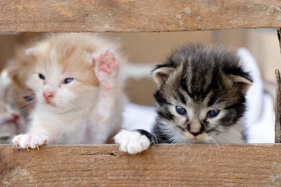 two kittens in a wooden box, avoiding pet scame