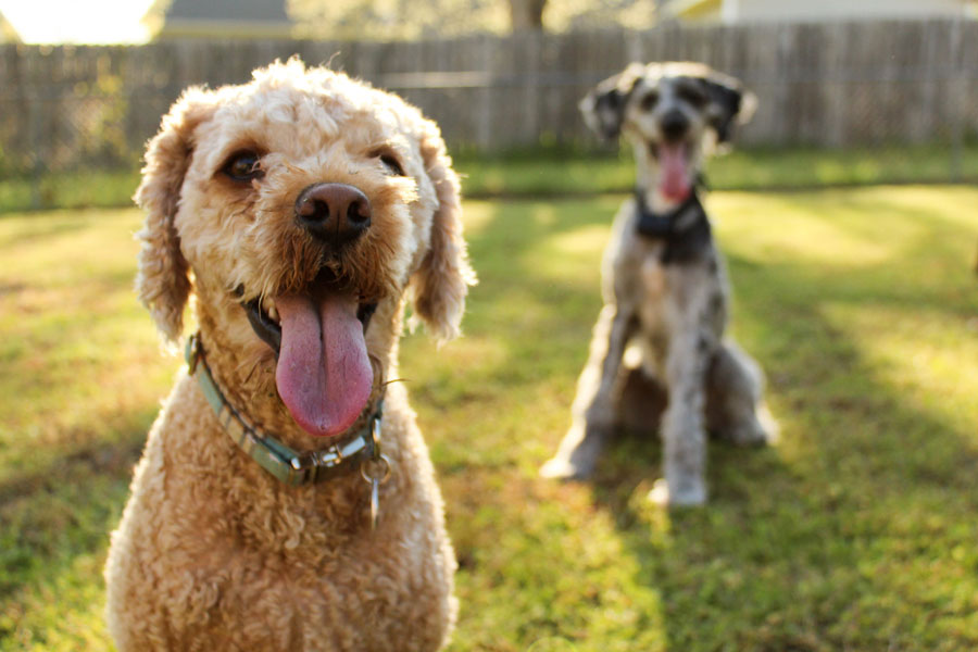 two happy dogs outdoors, pet professionals working together