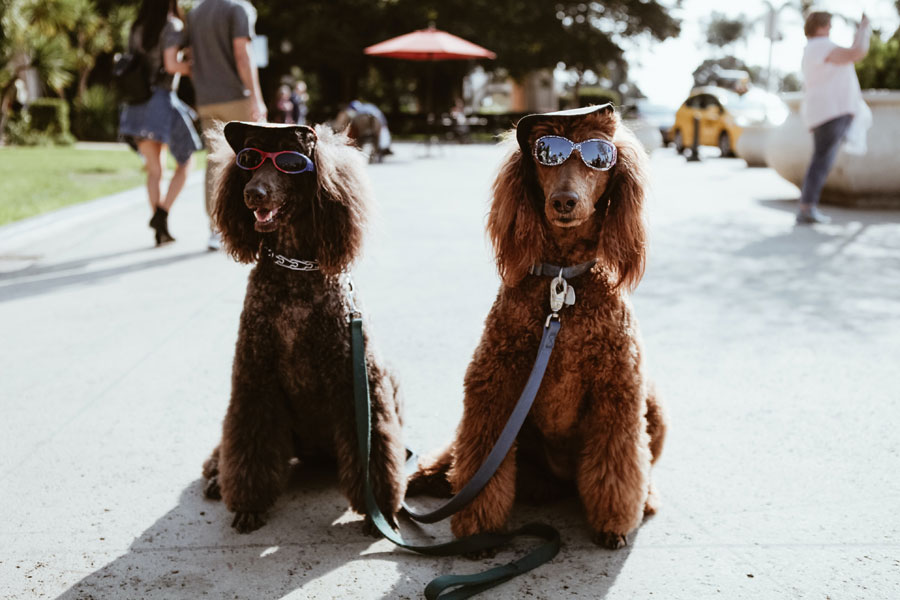 dogs wearing caps and sunglasses