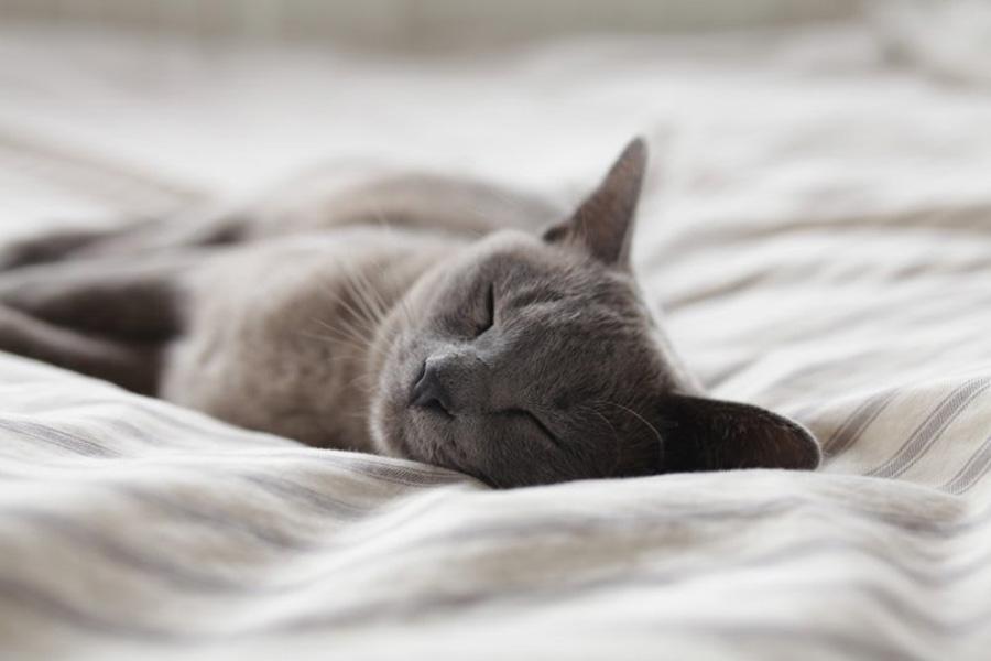 Russian Grey Cat sleeping, cat health concerns