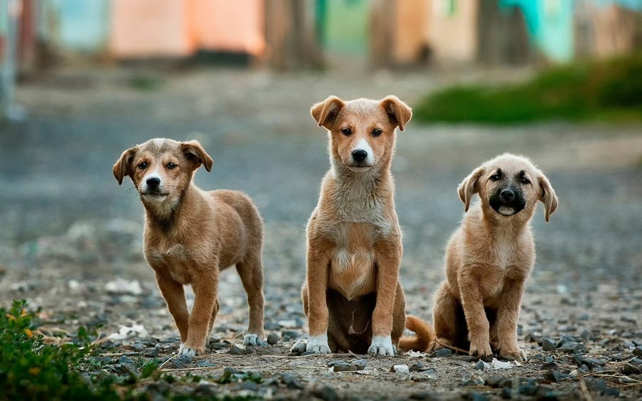 three stray dogs on the street, global attitudes towards dogs