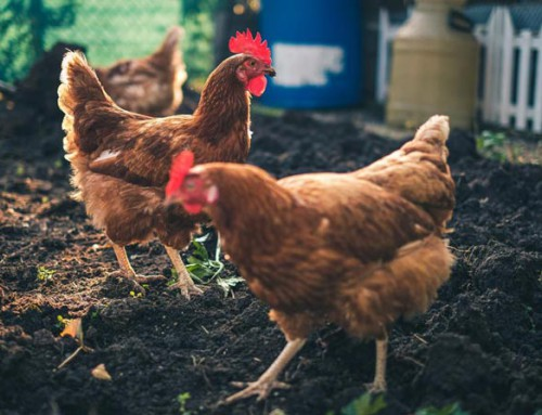 COVID-19 sees spike in backyard chickens