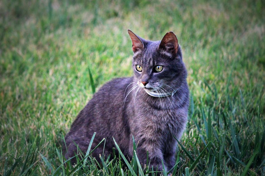 cat outdoors, heartworm in cats