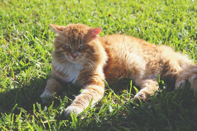Orange cat lying in the sun, heatstroke in cats