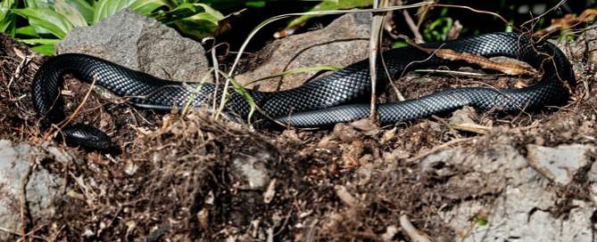 Black snake, snake bites in dogs