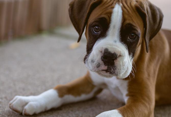 boxer puppy, canine parvovirus