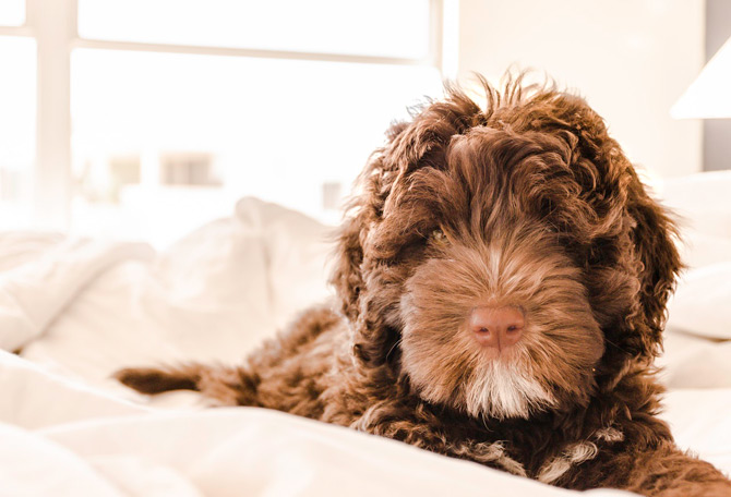 Brown, curly-haired dog. Meaning of dog barks