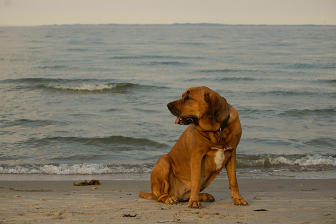 dog at the beach, senior pet safety in summer