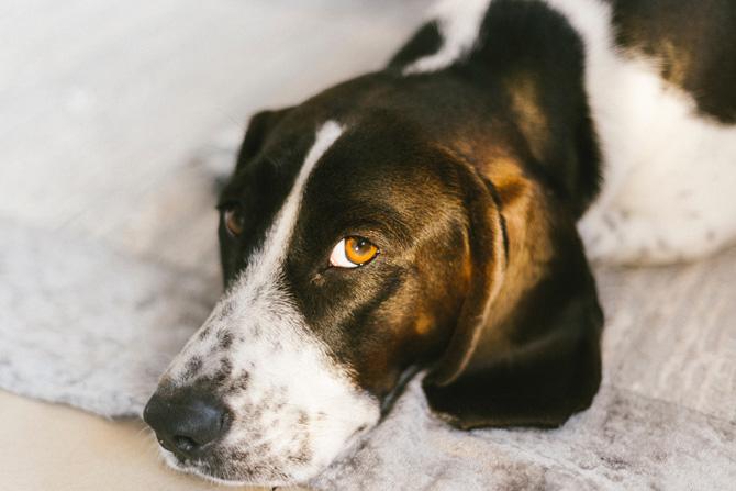 sad dog, pet cancer