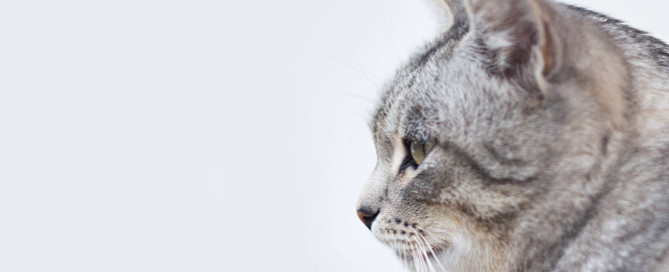 grey cat, pet business insurance