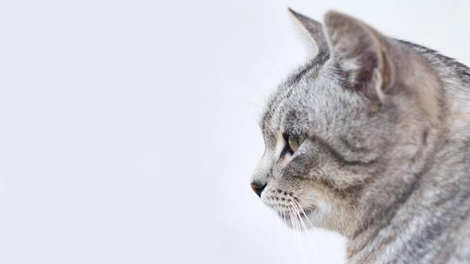 grey cat, pet business insurance
