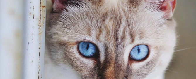 white cat with blue eyes, cattery insurance