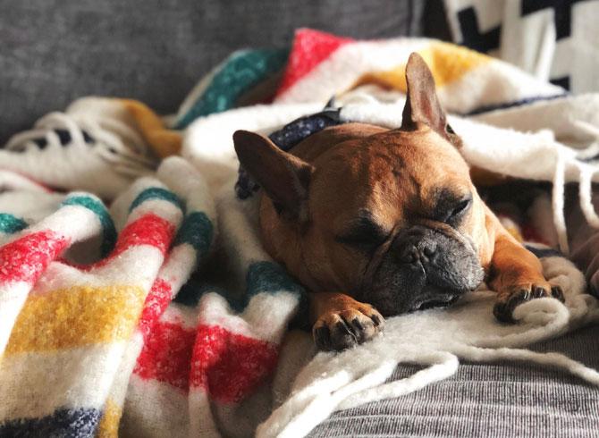 French bulldog asleep on sofa, Pet sitters week