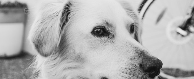 golden retriever, timid dog
