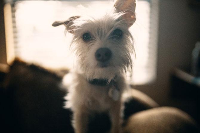 white scruffy dog, anxious pet, pet anxiety
