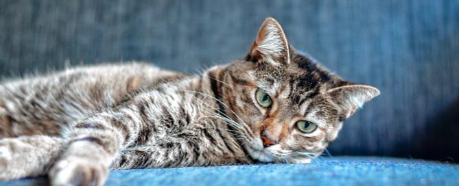 British shorthair cat, feline dementia symptoms