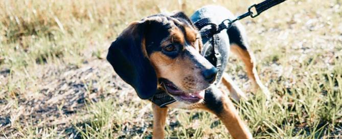 browna dn black dog outdoors, tick-borne disease