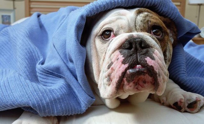 bulldog wrapped in blanket, winter pet care