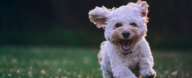 cockapoo outdoors, resilience in dogs