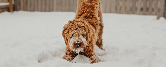 winter pet care, dog in the snow